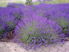 English Lavender seeds can be started indoors weeks before last frost. Lavandula Angustifolia is ornamental flowering herb that features sweetly fragrant, evergreen foliage and produces terminal spikes of tiny purple flowers. Insect Repellent Plants, Mosquito Repelling Plants, Lavender Seeds, Growing Lavender, Lavender Plants, Lavender Garden, Front Yard Landscaping, Flower Beds, Edible Garden