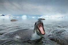 Leopard seal gallery: A Leopard Seal roars