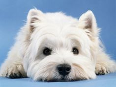 White West Highland Terrier