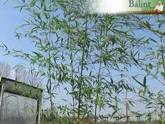 Bambusz a kertben Plants, Plant, Planets