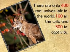 Red Wolf Facts The red wolf was believed to be completely wiped off from the world a few decades ago. Know more about this species that is slowly trying to come back into existence and is listed as 'critically endangered' in the IUCN red list. Read more at Buzzle: http://www.buzzle.com/articles/red-wolf-facts.html