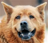 Orson - Orville's brother. Another sweet chow mix.