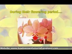 How to Care for Phalenopsis Orchids (Moth Orchids): 7 Steps