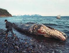 Worst environmental disaster. Exxon Valdez oil spill in March, 1989. 11 million gallons of crude oil spilled, killing 25,000 seabirds, 4,000 sea otters, 250 bald eagles, & more than 20 whales, according to the conservation group WWF. So sad.