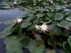 Blooming lotus flowers on    pond..