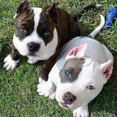 18 Cute Baby Animals That Will Melt Even Stone Cold Heart - meowlogy Cute Funny Animals, Cute Baby Animals, Animals And Pets, Amstaff Terrier, Pitbull Terrier, Beautiful Dogs, Animals Beautiful, Cute Pitbulls, Cute Dogs And Puppies