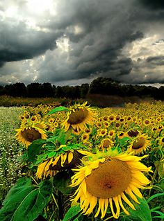 The Sunflower field with storm clouds overhead. Sunflower Art, Sunflower Fields, Sunflower Quotes, All Nature, Nature Decor, Mother Earth, Mother Nature, Beautiful World, Beautiful Places