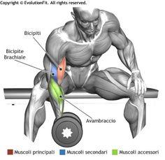 mappa-muscolare-bicipiti-concentrato-seduto-panca-piana.jpg (390×380)