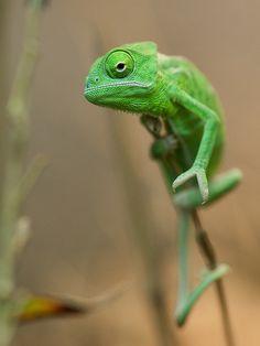 Yes, I want a pet chameleon!