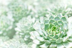 Famosas suculentas, as echevérias ou rosas-de-pedra são nomes utilizados para um grande grupo de espécies do gênero Echeveria. Elas têm folhas de coloração verde, rosada ou acinzentada, espessas em forma de roseta. Excelentes para jardins de pedras ou em vasos e bordaduras. Para o bom desenvolvimento, precisam de sol pleno.  Fotografia: Getty Images.