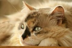 You've heard all the buzz about CBD, or hemp oil, for cats. National Animal, Cannabis Plant, Dog Treat Recipes, Diy Stuffed Animals, Hemp Oil, Pet Care, Your Pet, Pup, Im Not Perfect