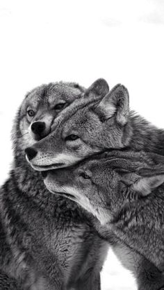 wolves wolf love / loup famille amour / meute / pack / Noir et blanc / Black and White / photography Wolf Love, Beautiful Creatures, Animals Beautiful, Tier Wolf, Animals And Pets, Cute Animals, Wild Animals, Baby Animals, Beautiful Wolves