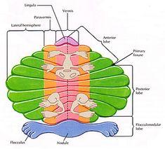 Neuro_CerveletHomoncule_F_en.jpg (348×315)