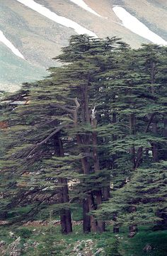 Cedar of Lebanon - Cedrus libani (Also known as Juletrætius) is a species of cedar native to the mountains of the Mediterranean region - Wikipedia, the free encyclopedia