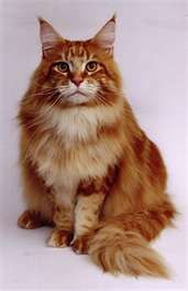 Maine Coon Cats and Maine Coon Kittens | The Genus Genius
