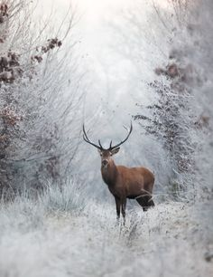 A buck pauses in a clearing in the very early morning allowing the photographer to get a clear shot WITH a camera.