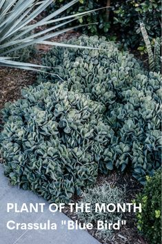 If you're looking for a larger succulent, something that looks at home both potted and also planted amongst other species in a garden bed? What you're looking for, is Crassula 'Blue Bird'. Succulent Landscaping, Landscaping Plants, Outdoor Landscaping, Succulents Garden, Garden Plants, Garden Bed, Landscaping Ideas, Back Gardens, Outdoor Gardens