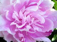 Peony flower close-up - click to see all state flowers