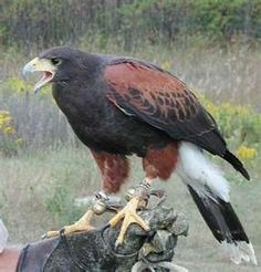 Harris Hawk. Got to hunt with one in 2009.