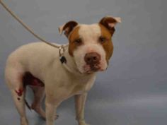 10/14/16 UPDATES PLEASE URGENT?? SUPER URGENT Manhattan Center SQUEEGE – A1090478 ***HIT BY CAR*** MALE, WHITE / TAN, AM PIT BULL TER MIX, 2 yrs STRAY – STRAY WAIT, NO HOLD Reason STRAY Intake condition INJ MINOR Intake Date 09/19/2016, From NY 11435, DueOut Date09/22/2016