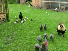 Onze kippen/our chickens
