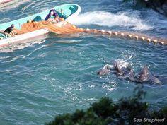 Dolphin killers driving a pod of pilot whales toward the killing cove#seashepherd #taiji #coveguardians