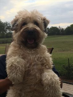 Cute Puppies, Cute Dogs, Dogs And Puppies, Doggies, Teddy Bear Dog, Teddy Bears, Whoodle Dog, Cutest Dog Ever, Wheaten Terrier