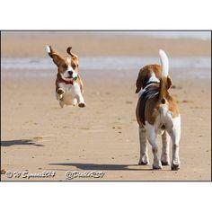 Beagle fun at the be