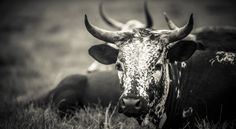 Miniature Breeds Of Cattle That Are Perfect For Small Farms Photomontage, African States, Photoshop, Loose Skin, Friesian, Small Farm, Jolie Photo, Cattle, Farm Animals