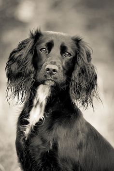 Molly the Working Cocker Spaniel (Damian Barson)