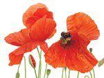 Poppy Pollination © Anna Knights SBA