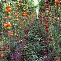 A nagy kerti trükk, ezért szórj tojáshéjat a paradicsom köré Potager Garden, Veg Garden, Tomato Garden, Edible Garden, Garden Plants, Tomato Vine, Terraced Garden, Growing Tomatoes In Containers, Grow Tomatoes