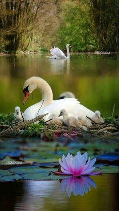 BEAUTIFUL SWAN AND CYGNETS!