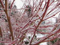 Ice on Coral Bark Maple branches Coral Bark Maple, Ice Storm, Fall 2018, Branches, The Incredibles, Japanese, Plants, Japanese Language, Plant