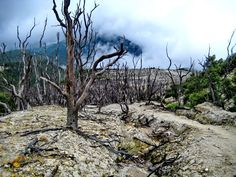 Dead forest - papandayan