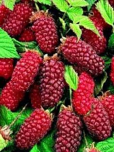 This is a loganberry. Cultivated by Judge John H. Logan of Santa Cruz, CA in 1880 the loganberry is a cross between the Antwerp red raspberry and the wild blackberry resulting in a deep red, very tart berry. It was possibly the most important berry crop in the Willamette Valley (Oregon) between 1910-25. LOADED w/ nutrients such as calcium, zinc, fluoride, iron, manganese, phosphorus, selenium, magnesium, copper, potassium & Vitamins A, B complex, C, D, E & K - yes, its included in our…
