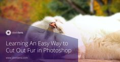 Learning An Easy Way to Cut Out Fur in Photoshop