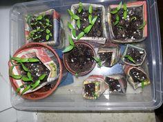 07.02.2014, die Paprikas wachsen, voll cool. Die selbst gesammelten Samen sind schneller gekeimt als die gekauften.