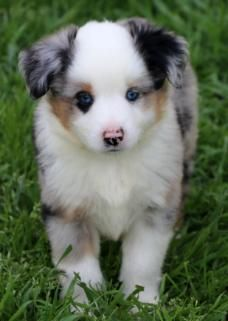 Texas Miniature Australian Shepherd Puppies Miniature Australian Shepherd Puppies Australian Shepherd Puppies Aussie Puppies