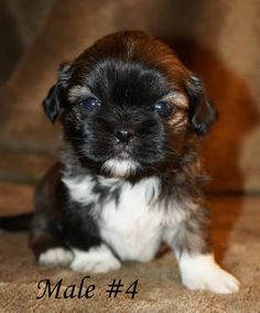 Shih Tzu puppy for sale.  (this is not our puppy but he looks like our 2 male puppies, 1 already sold, 1 can be yours,) Call me!  They are so adorable.
