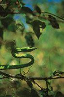 Una serpiente bejuquillo, Oxybelis aeneus, al acecho entre el follaje de un arbusto.