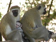 Vervet monkeys with babies