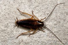 German Cockroaches: A Profile and Guide (Pest Control)