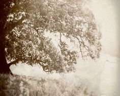 Oak tree photograph meadow morning light faded soft by honeytree, $21.00