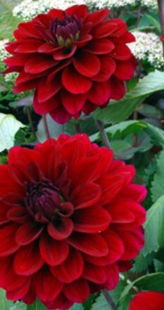 Dahlia Karma Naomi | Deep mahogany-red, velvet blush --Winner Gebr Verwer 1993