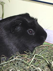 A melanistic guinea pig. (Photo: Rotatebot/WikiCommons CC BY-SA Black Animals, Cute Animals, Unusual Animals, Melanistic Animals, Black Squirrel, Guniea Pig, Silkie Chickens, Baby Guinea Pigs, Dark Creatures