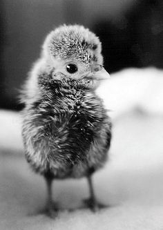 Polish chicken chick. i want chickens so bad.