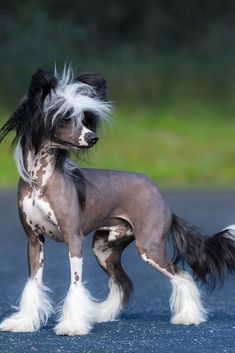 The Chinese Crested is one of the most astonishing breeds in the dog world. This dog craves human companionship. Learn all about this small and sensitive breed. Cute Puppies, Dogs And Puppies, Chihuahua Dogs, Chinese Crested Hairless, Chinese Dog, Hairless Dog, What Kind Of Dog, What Dogs, Dog List