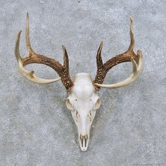 Whitetail Deer Skull European Mount For Sale #14648 @ The Taxidermy Store