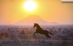 Marwari Sultan horse India sunset
